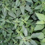 Stinging Nettles Extract Benefits